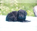 Small #21 Poodle (Standard)