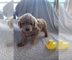 Goldendoodle-Poodle (Miniature) Mix Puppy for Sale in MIDLOTHIAN, Texas USA