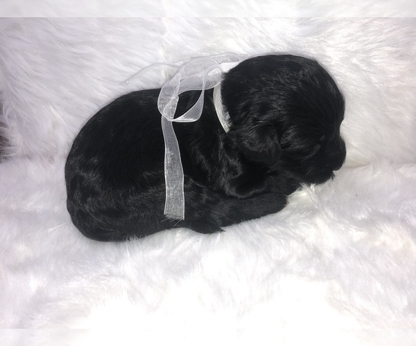 PuppyFinder com - View Ad: Photo #3 of Listing Labradoodle