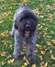 Bouvier Des Flandres Puppy for sale in AMBOY, WA, USA