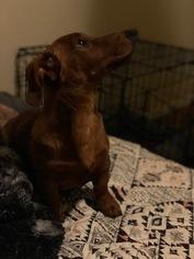 Sheldon - Dachshund (medium coat) Dog For Adoption