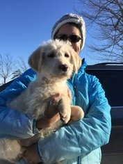 Labradoodle Puppy For Sale in LEO, IN