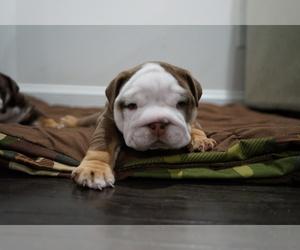 English Bulldog Puppy for sale in SIMPSONVILLE, SC, USA