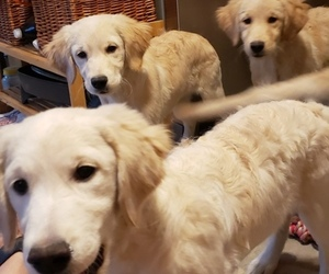 Golden Retriever Puppy for sale in ROCK CREEK, OH, USA