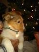 Small #12 Shetland Sheepdog