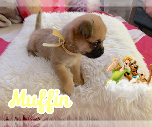 Pugshire Puppy for sale in GASTONIA, NC, USA