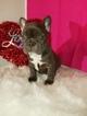 French Bulldog Puppy For Sale in SACRAMENTO, CA, USA