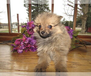Pomeranian Puppy for sale in KALAMAZOO, MI, USA