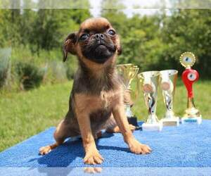 Brussels Griffon Puppy for sale in BROOKLYN, NY, USA