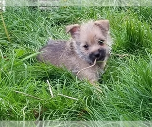 Pom-A-Nauze Puppy for Sale in CANBY, Oregon USA