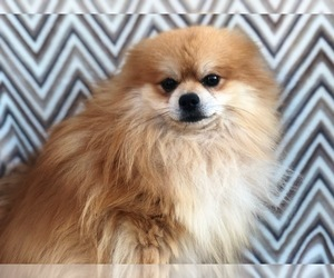 Pomeranian Dog for Adoption in RISING SUN, Maryland USA