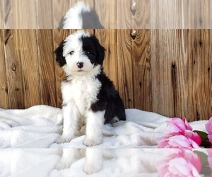 Sheepadoodle Puppy for Sale in SUGARCREEK, Ohio USA