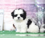 Katie Very Happy Female Malshi Puppy