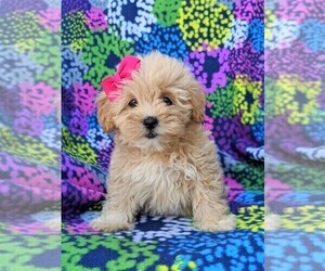 Lhasa-Poo Puppy for sale in LINCOLN UNIV, PA, USA