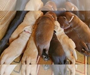 Labrador Retriever Puppy for Sale in MYERSTOWN, Pennsylvania USA