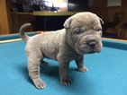 Chinese Shar-Pei Puppy For Sale in MILWAUKEE, WI