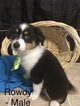 Miniature American Shepherd Puppy For Sale in DEARBORN, MO, USA