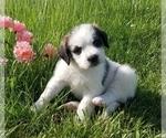 Puppy 3 Saint Berdoodle