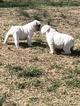 English Bulldog Puppy For Sale in COLUMBIA, Missouri,