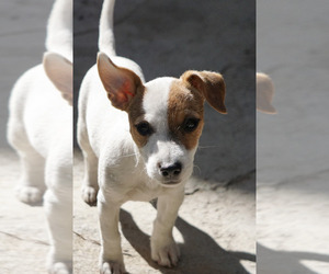 Jack Russell Terrier Puppy for sale in BEAUMONT, CA, USA