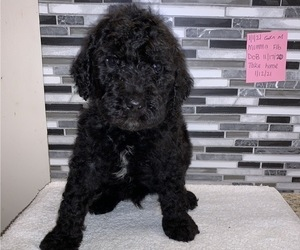 Goldendoodle Puppy for Sale in NEWTON, Illinois USA