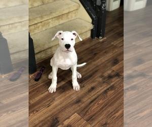 American Bulldog-Dogo Argentino Mix Dogs for adoption in MODESTO, CA, USA