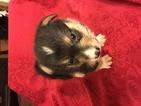 Pembroke Welsh Corgi Puppy For Sale in BEMIDJI, MN