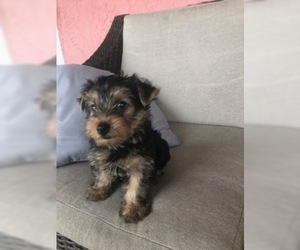 Yorkshire Terrier Puppy for Sale in DAYTONA BEACH, Florida USA