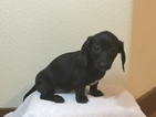 Dachshund Puppy For Sale in BYERS, CO, USA