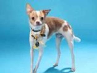 Chihuahua Dog For Adoption in O Fallon, MO