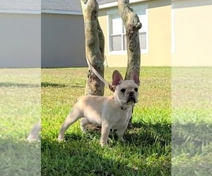 French Bulldog Puppy for Sale in ALAFAYA, Florida USA