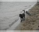 Small #38 Labrador Retriever