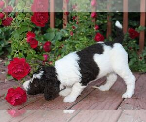 Poodle (Standard) Puppy for Sale in FARR WEST, Utah USA