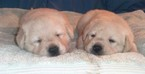 Labrador Retriever Puppy For Sale in CALIENTE, CA, USA