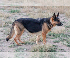 Mother of the German Shepherd Dog puppies born on 10/19/2020
