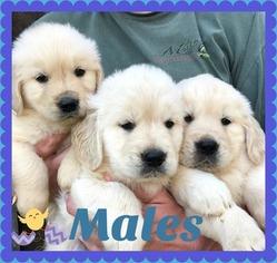 Golden Retriever Puppy For Sale in JASPER, GA