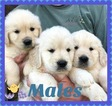 Golden Retriever Puppy For Sale in JASPER, GA