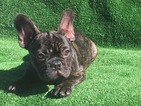 French Bulldog Puppy For Sale in FALLON, NV, USA