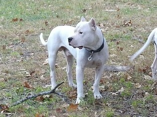 Father of the Dogo Argentino puppies born on 12/25/2018