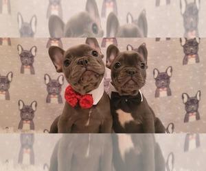 French Bulldog Puppy for sale in BLACK DIAMOND, WA, USA