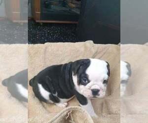 English Bulldog Puppy for sale in NORFOLK, VA, USA