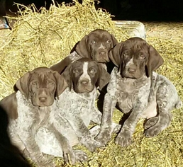German Shorthaired Pointer Puppy for sale in DODGEVILLE, WI, USA