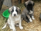 AKC registered Anatolian Shepherd