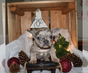 French Bulldog Puppy for sale in MILLERSBURG, OH, USA