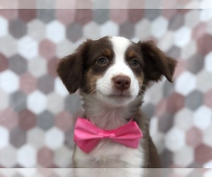 Miniature Australian Shepherd Puppy for sale in NOTTINGHAM, PA, USA