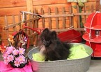Pomeranian Puppy For Sale in MURRIETA, CA,