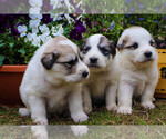 Small #20 Great Pyrenees
