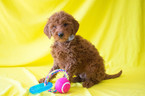 Goldendoodle Puppy For Sale in LEETONIA, OH, USA