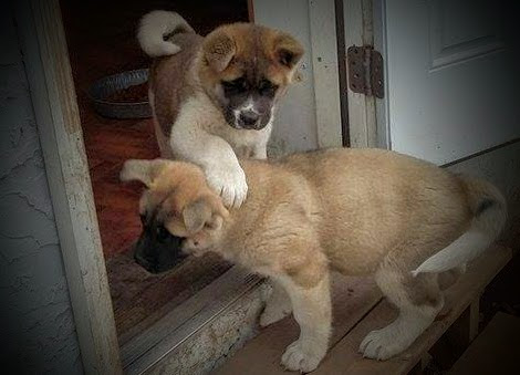 View Ad: Akita Puppy for Sale near Wisconsin, GREEN BAY, USA