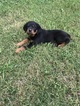 Rottweiler Puppy For Sale in PARAGOULD, AR, USA